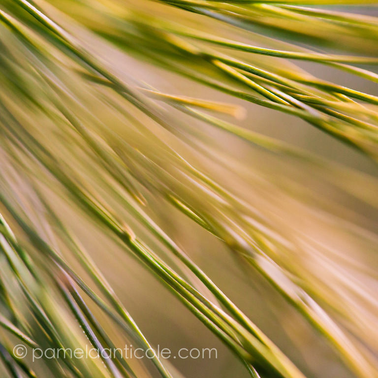abstract fine art print, moving pine needles