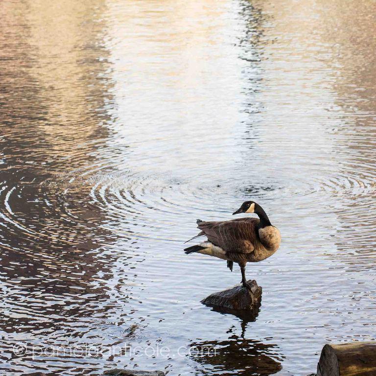 pittsburgh allegheny river goose fine art print