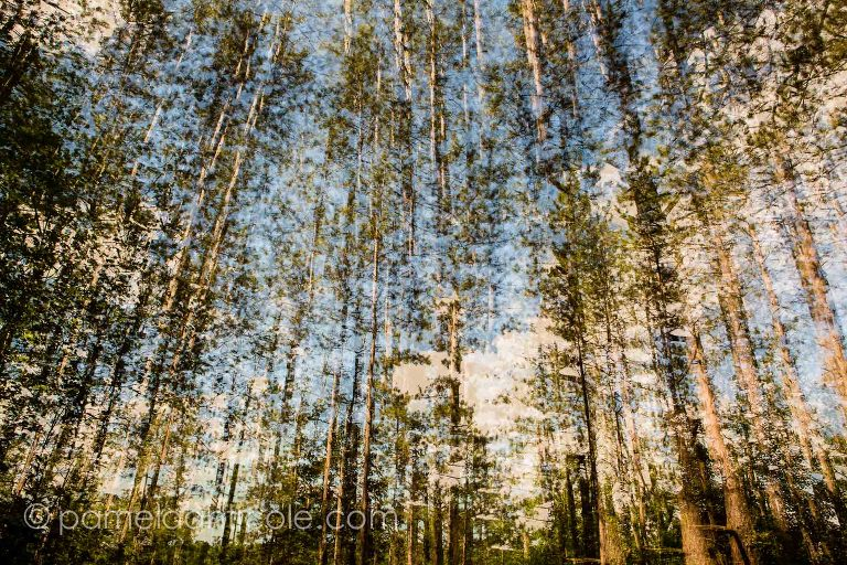 fine art nature print, white pines, wall art, blue and brown, summer, north park, pittsburgh, pamela marie photography