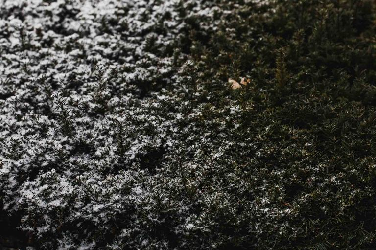 abstract picture of snow on a green bush