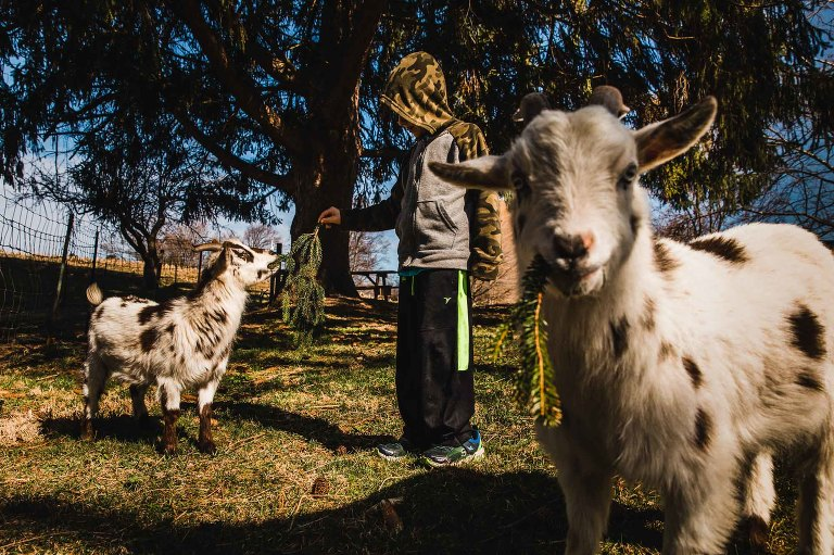 boy feeding goat while another goat looks into the camera